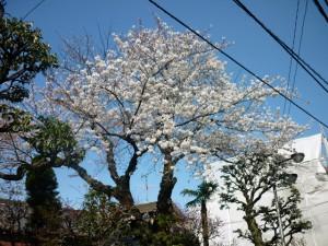 20100330_sakura